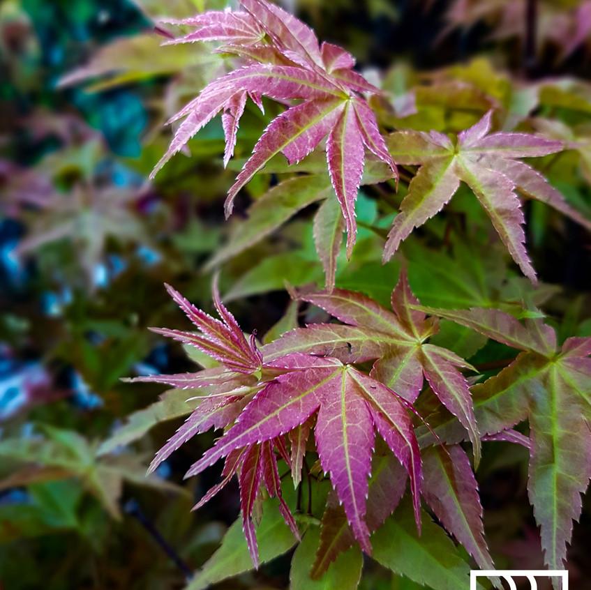erable-plante-couleur-roots-paysages - C