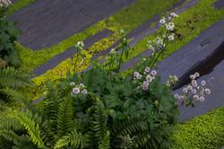 Helxine-fougere-plantes-roots-paysages