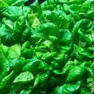 Vet Veggies | Basil