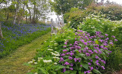 Bluebells and Lunaria