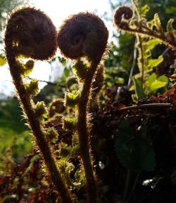 Uncurling fern