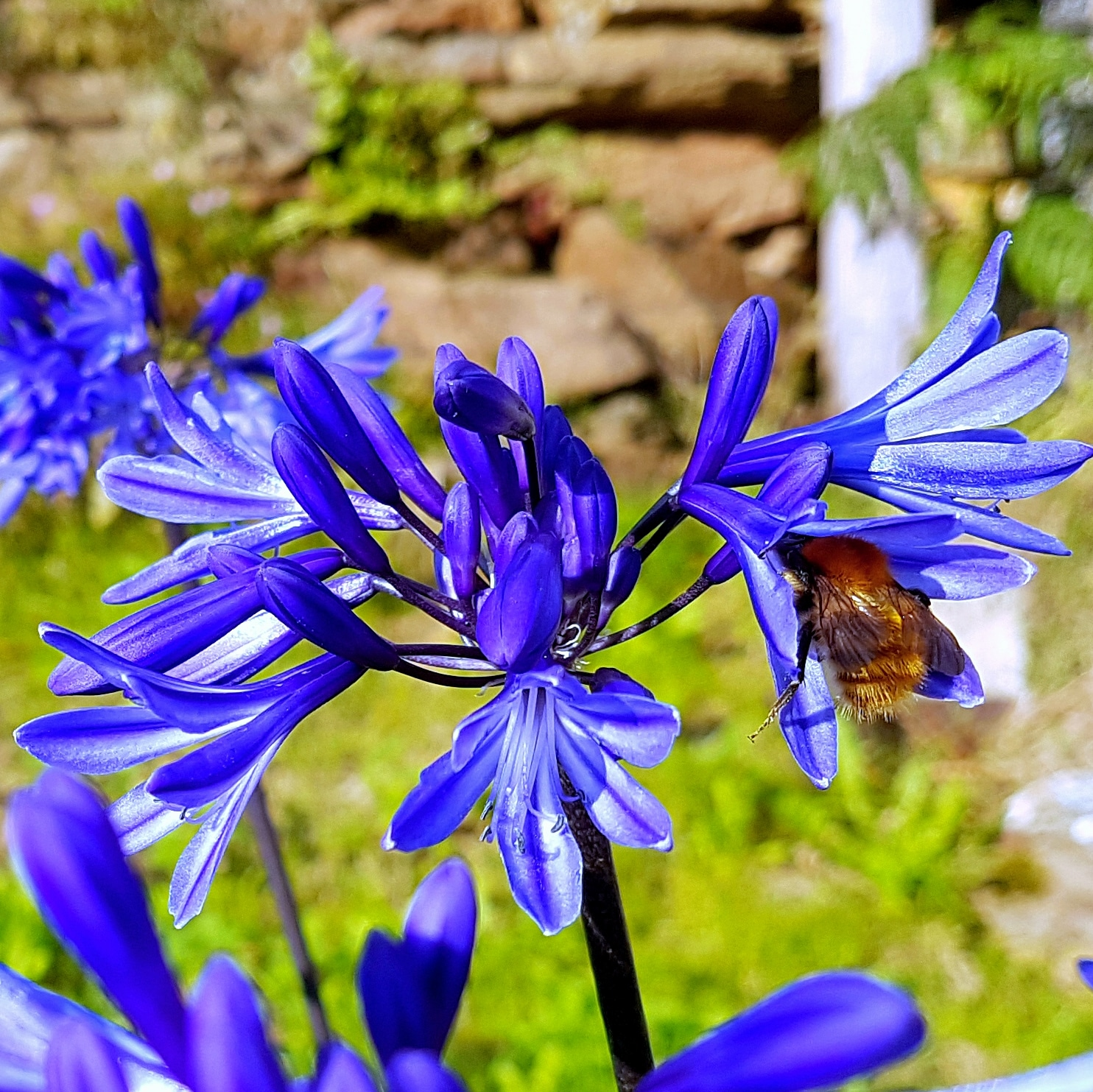 Agapanthus Midnight Blue nd BeeIMG_20180518_132408_387.jpg