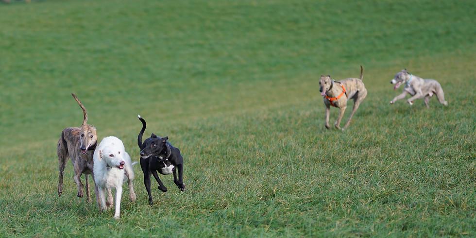 Sighthound Saturday