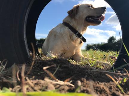 Labrador in tyre