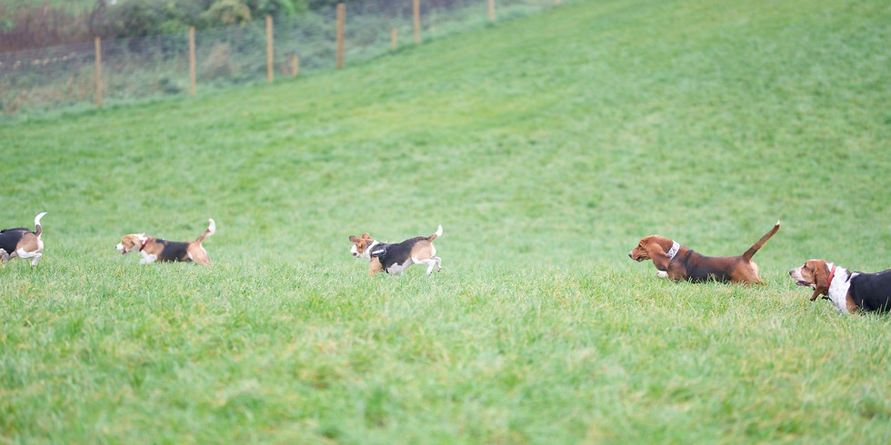 Beagle/Basset- Play Session