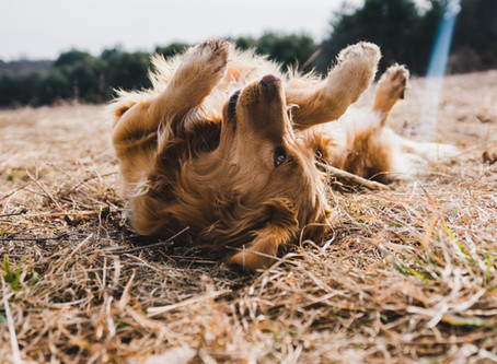 Why Do Dogs Roll in Stinky Stuff?