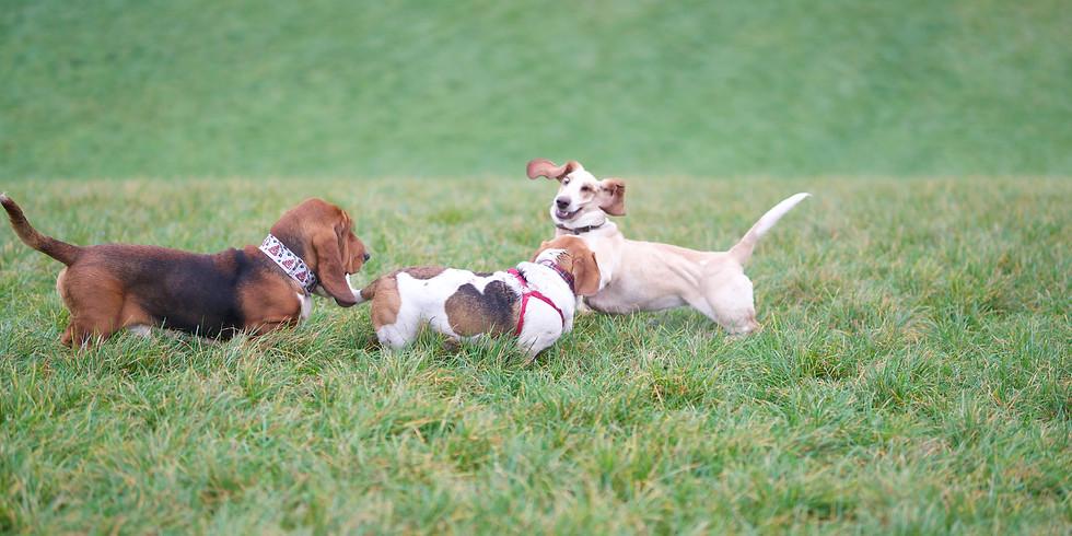 Beagle/Basset- Play Session CHRISTMAS!