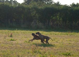 Rhodesian Ridgeback and boxer dog running