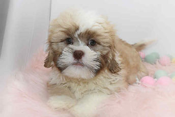 Shichon Full for Available Puppies.jpg