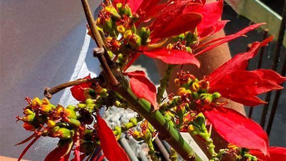 Buscan preservar Flor de Nochebuena Silvestre Mexicana