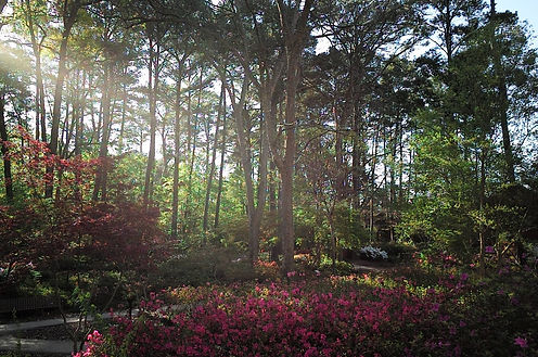 The sun streaming through the beautiful trees surrounded by azaleas in Nacogdoches, TX, the home of a Xero online bookkeeper.
