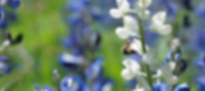 A honey bee is hanging onto the bud of a Texas Bluebonnet plant in the Texas spring.  My first, and longest, bookkeeping client is a beekeeper!