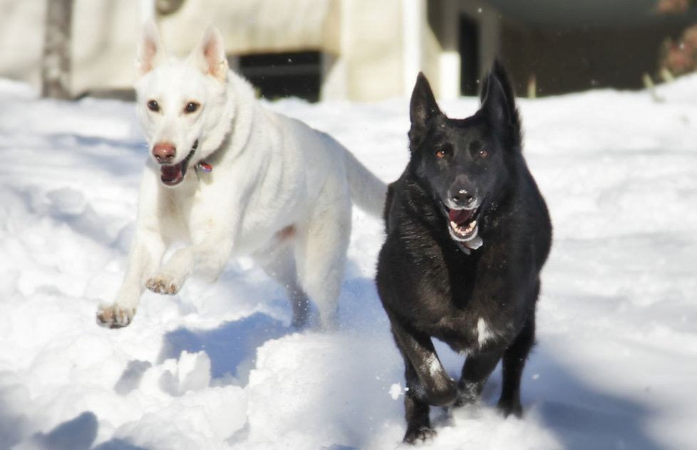 Ashevile Dogs Playing In Snow. Dog Walkig