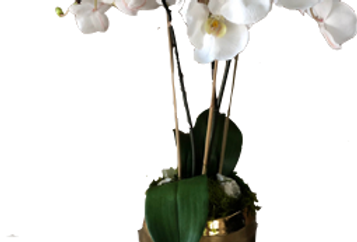 Silk Orchid White 3 Stem