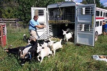 goats exiting trailer.jpg