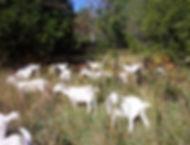 goats new graze AR.jpg