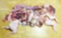 Ferret franknprey (1).jpg