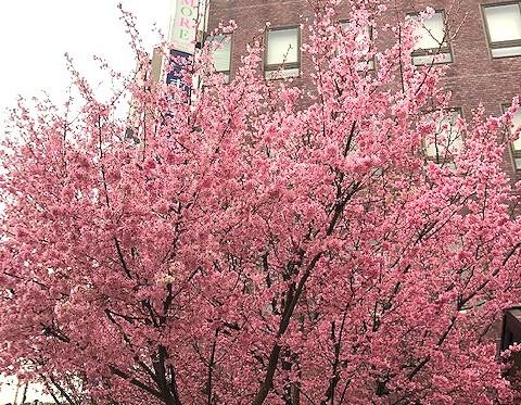 【ブログ】スタジオの下に綺麗な桜が咲きました。
