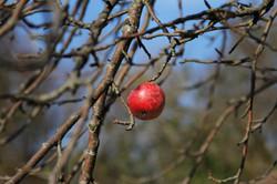Lone Apple