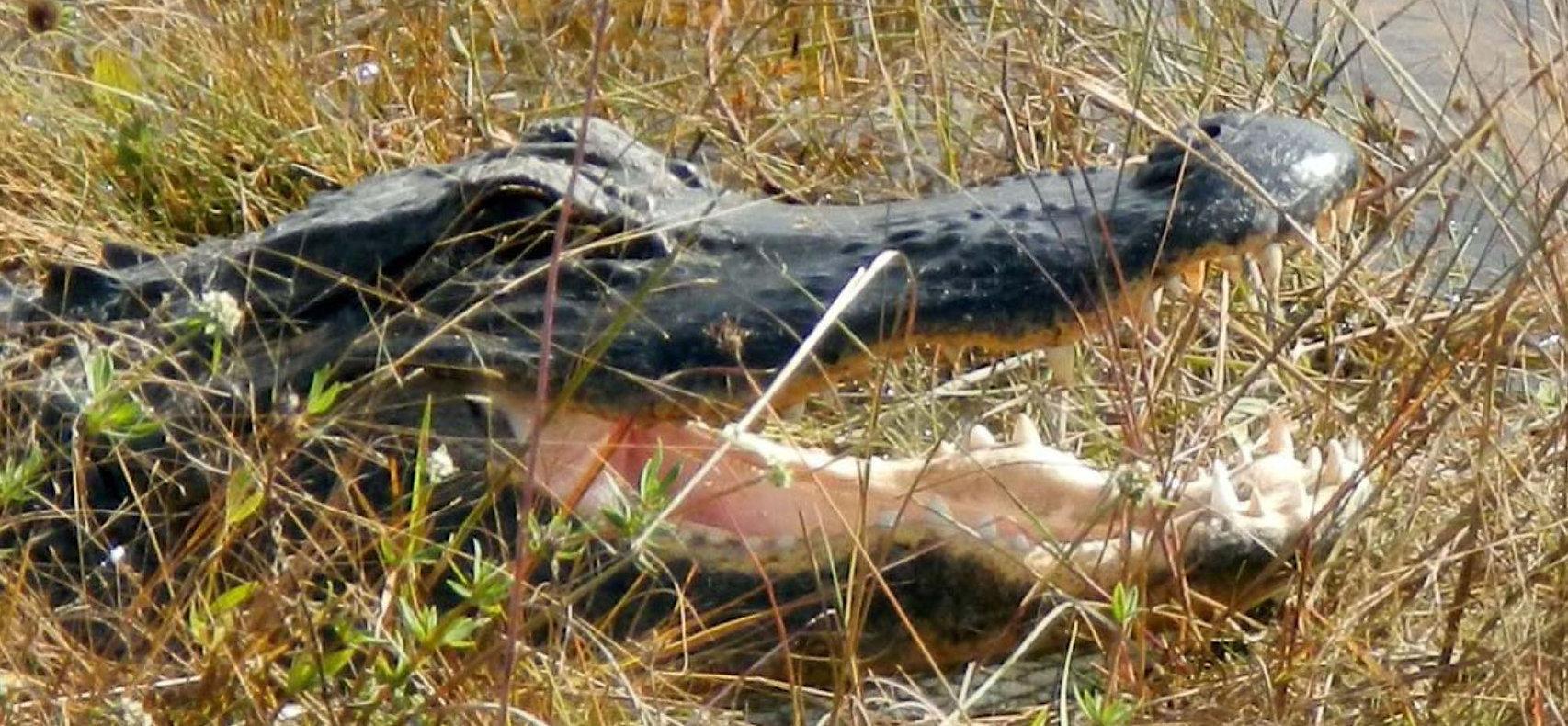AlligatorStrip.jpg