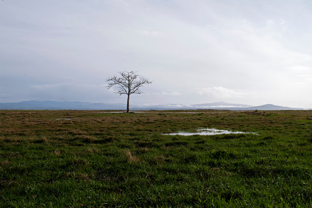 One line tree stands in the marshes of Oysterville, Washington. 2019.