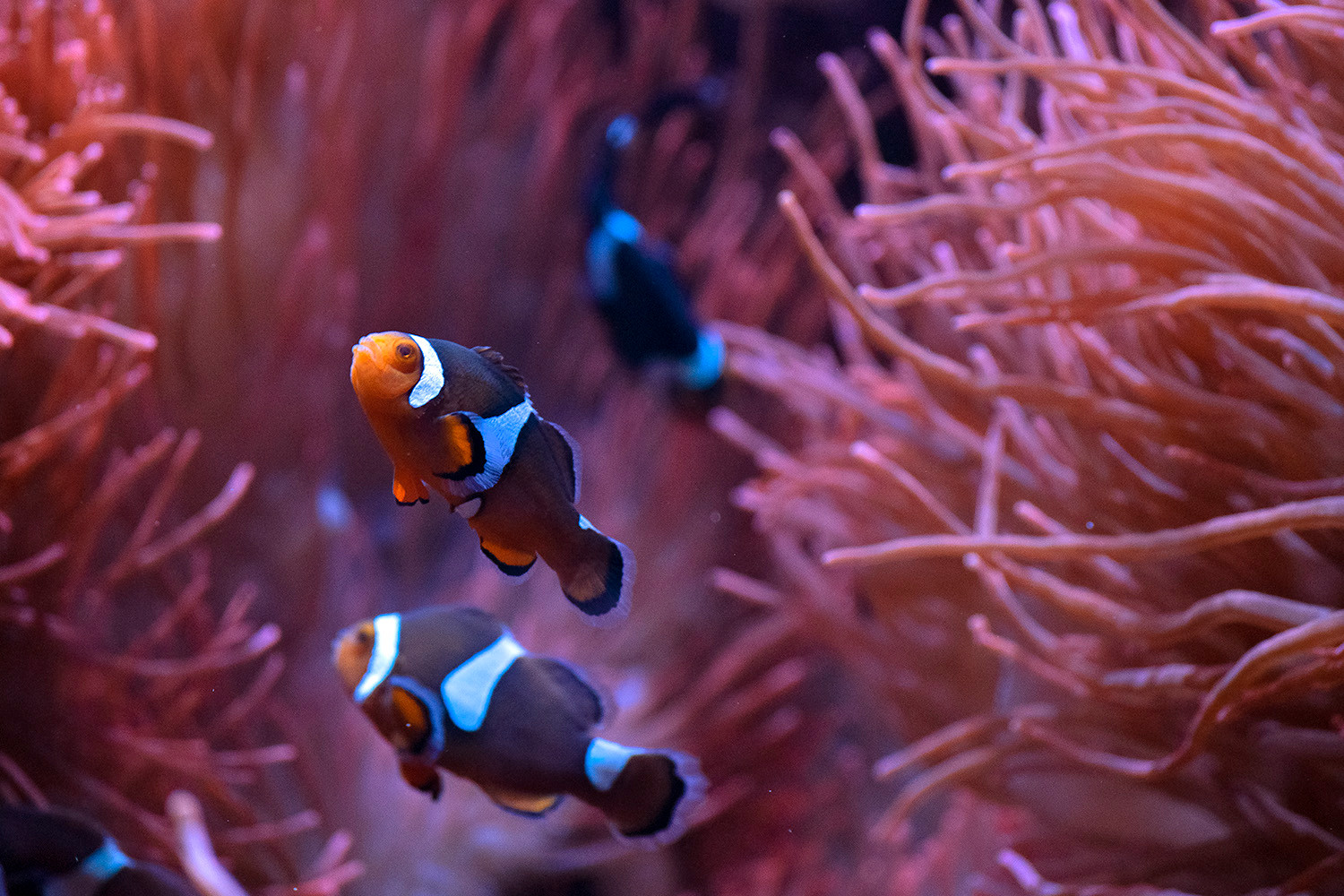 Clownfish glide between their anenome homes in their tank at the Denver Zoo. 2020.