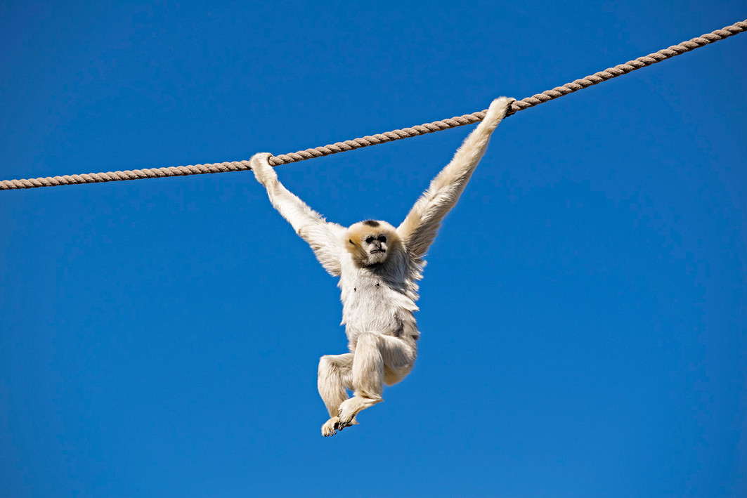 Vinh, a 30 year old white-cheeked gibbon, swings high above guests at the Denver Zoo. 2020.