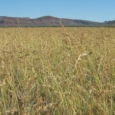 Themeda Grassland TEC