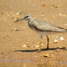 Onslow Saltfield Shorebird Counts