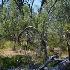 Bunbury Outer Ring Road Banksia Woodlands TEC Survey