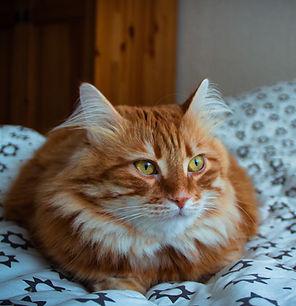 טוקסופלסמה טוקסופלזמה בחתולים