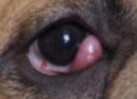 צ'רי איי cherry eye קריסת בלוטת דמעות בכלב