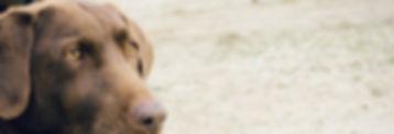 קטרקט בכלבים