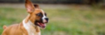 שעלת מכלאות בכלבים | שעלת בכלבים