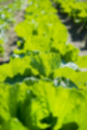 UEMON野菜畑.jpg