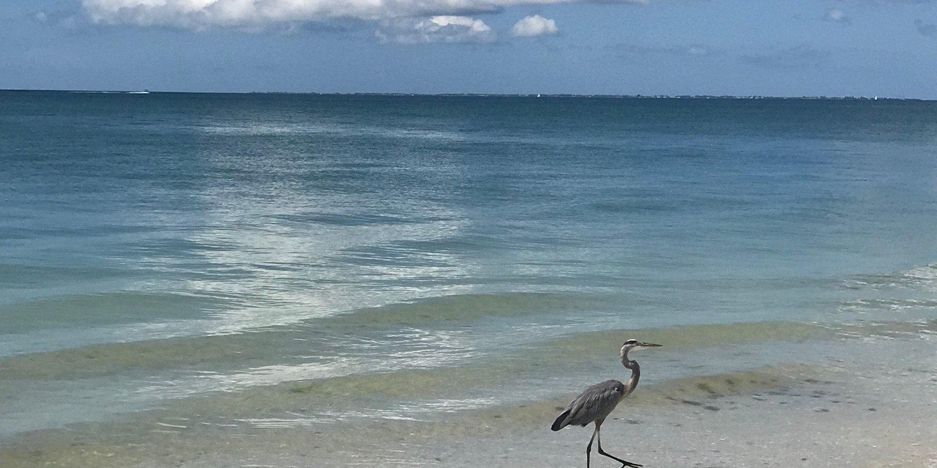 Summer Blue Heron