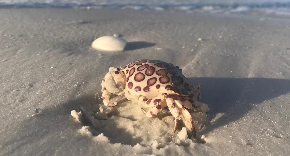 Calico Crab