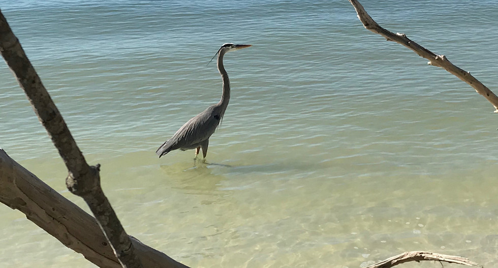 Blue heron in the surf