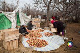 The apple trade in Kashmir.jpg