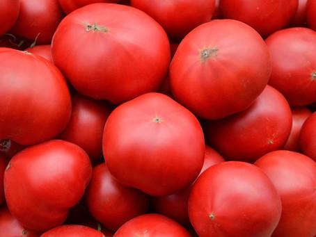 もうすぐ出荷!トマト嫌いが丹精込めて作るこだわりのフルーツトマト成長期