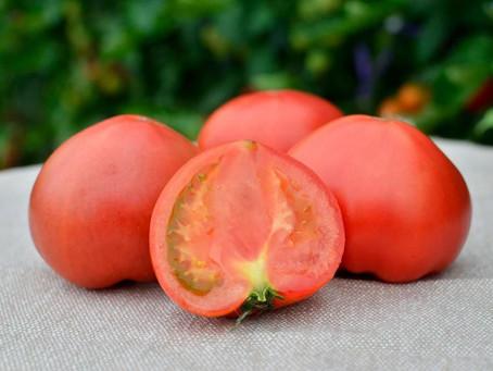 フルーツトマトの収穫が始まりました!