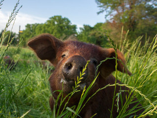 Can You Make Money With Pastured Pork?