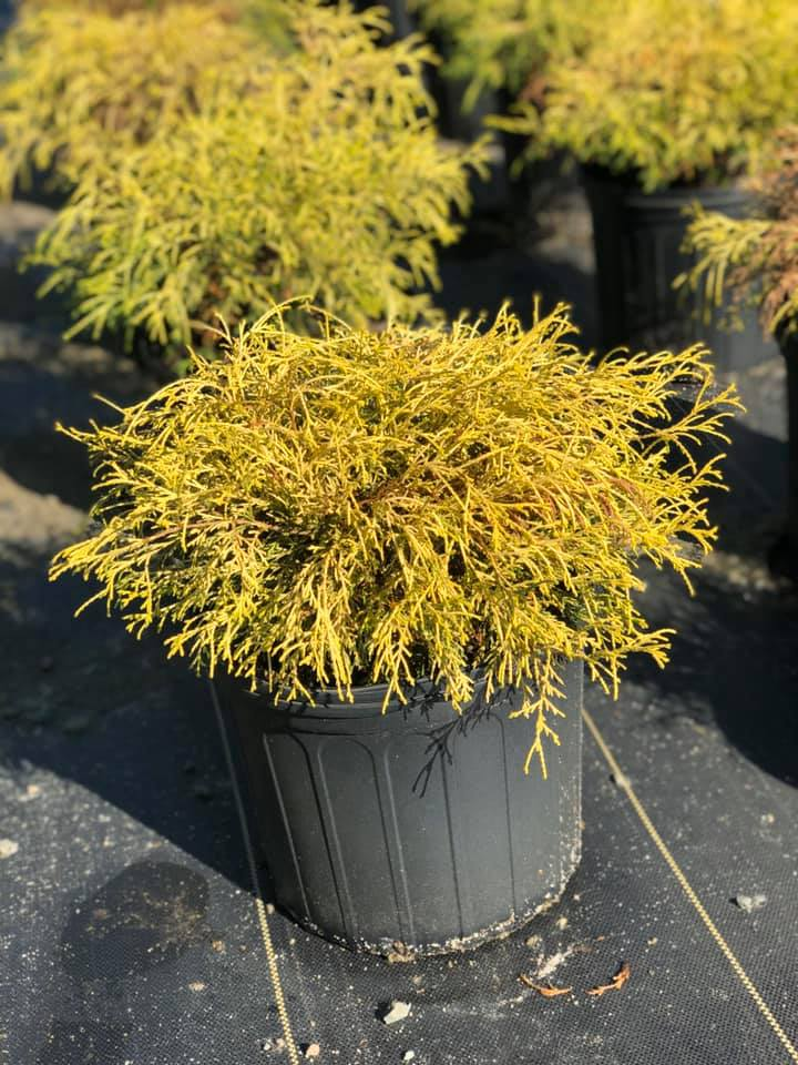 Kings Gold Cypress