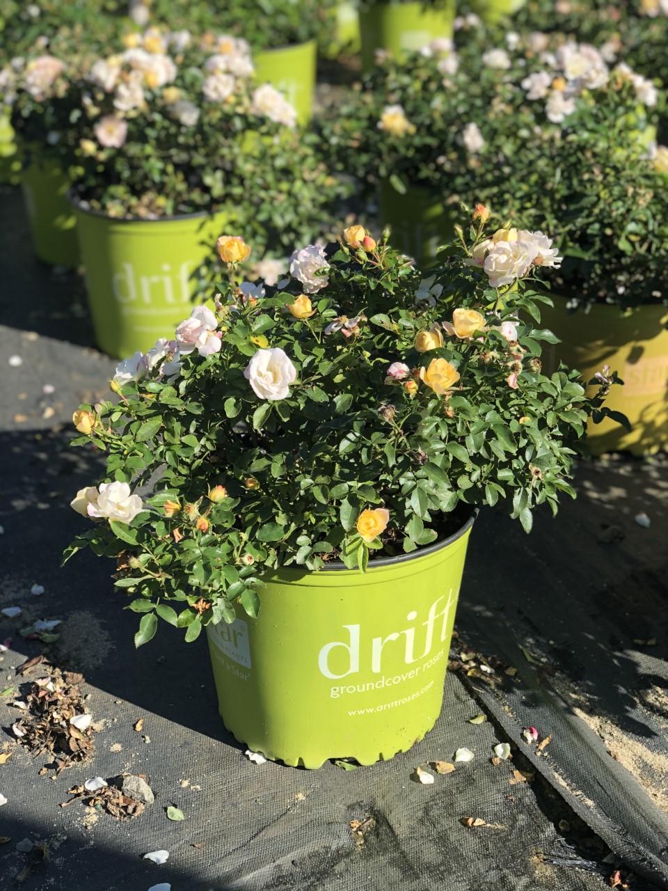 Yellow Drift Rose