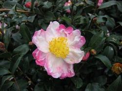 Hana Jiman Camellia