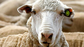 Live Sheep Export Summer Moratorium