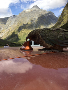 Kea in Aktion