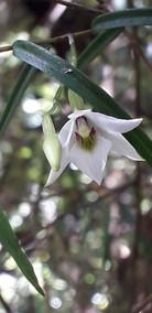 Frauenschuh Orchidee NZ