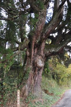 拝所の大杉
