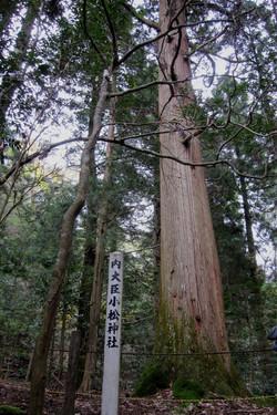 小松神社の御神木